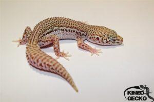 Kimbo-gecko