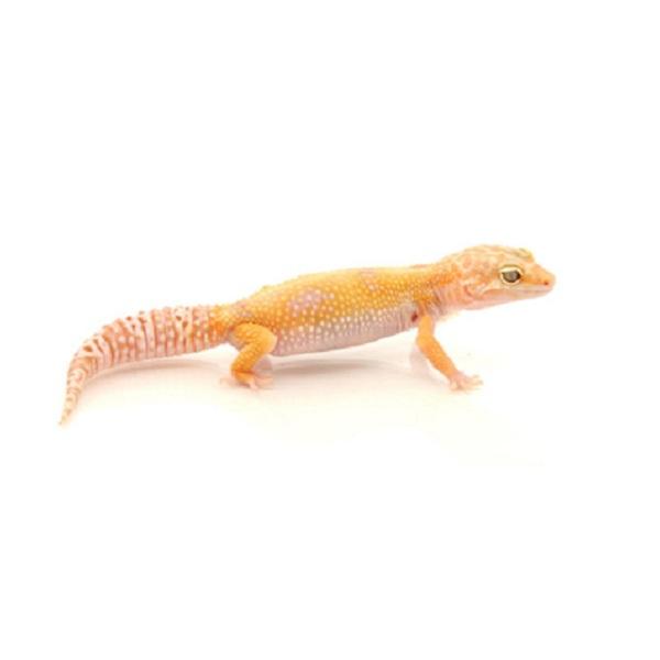 Black Hole Leopard Gecko Best 2017