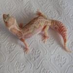 Mack Snow Rainwater Albino