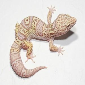 Mack Snow Bell Albino
