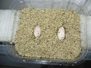inkubace