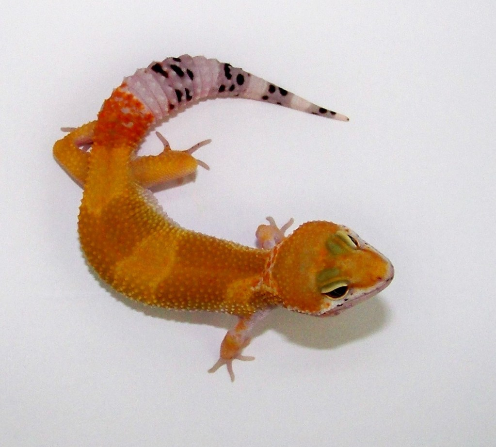 Click to view one of our beautiful Baby Tangerine Leopard Geckos with super low prices same day overnight shipping and live arrival guarantee