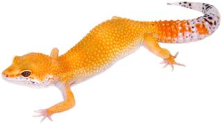 Super Hypo Tangerine   KIMBO-GECKO