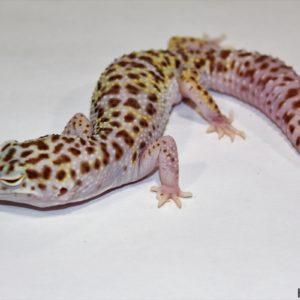 0.1 White&Yellow Mack Snow Bell Albino het. Radar