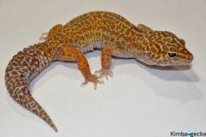 0.1  Mack Snow Tremper Albino het. Raptor