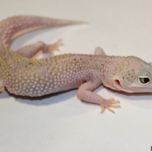 0.1 White&Yellow Mack Snow Eclipse het. Raptor