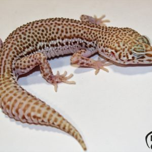 132. Super Snow Bell Albino het. Radar
