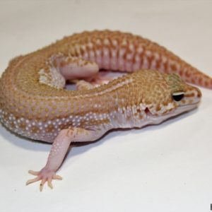 0.1 Super Giant Super Snow Albino 50% het. Raptor