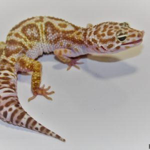 0.1 Super Giant Mack Snow Tremper Albino 50% het. Eclipse