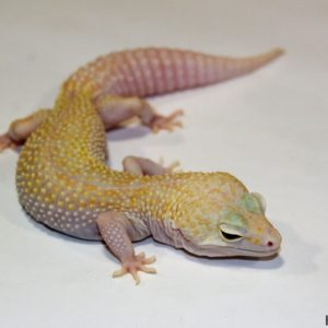 0.1 Stonewash Super Giant White&Yellow Mack Snow Raptor het. Diablo Blanco