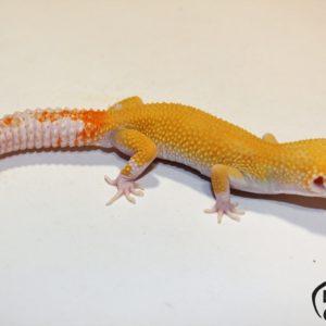 1. White&Yellow Raptor