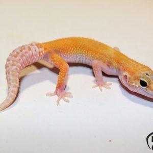 2. (White&Yellow) Raptor