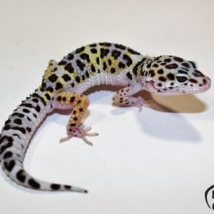 5. (Super) Giant Mack Snow Pastel het. Raptor