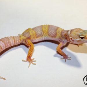 27. (Super) Giant (Pastel) Mack Snow Tremper Albino het. Raptor