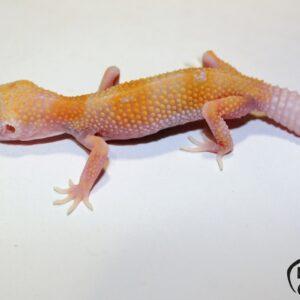45. (White&Yellow) Tremper Albino Enigma het. Raptor