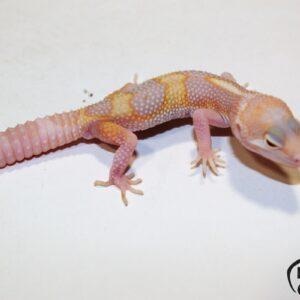 53. (Super) Giant Pastel Raptor
