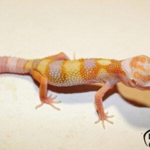 63. (White&Yellow) Mack Snow Tremper Albino het. Raptor