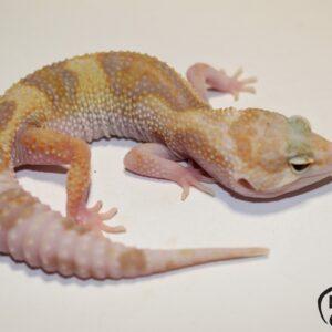 127. (Super) Giant Pastel Raptor