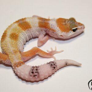 137. White&Yellow Mack Snow het. Raptor 50% het. Snowflake Diablo Blanco
