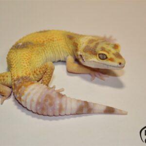 131. Lemon Frost Tremper Albino het. Raptor 50% het. Diablo Blanco
