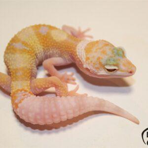 1. White&Yellow Tremper Albino het. Diablo Blanco