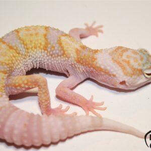 2. White&Yellow Mack Snow Tremper Albino het. Diablo Blanco